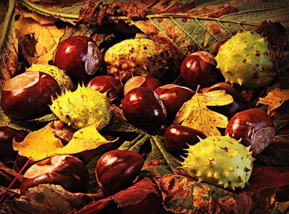 плоды конского каштан