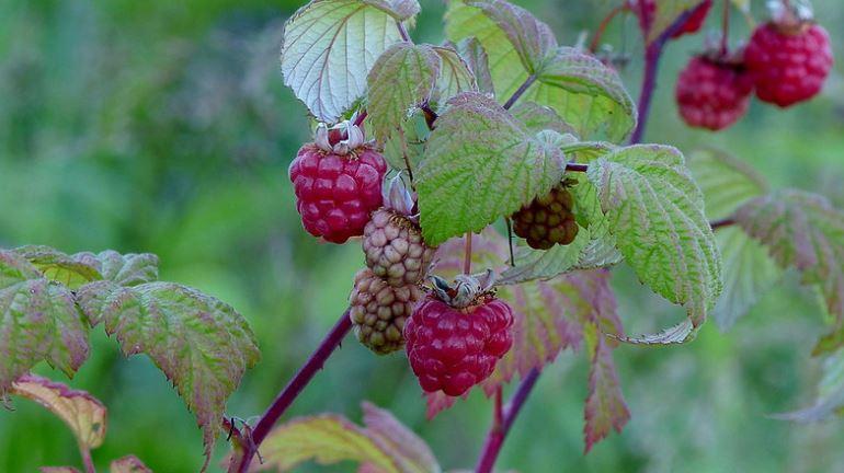 бирючьи ягоды