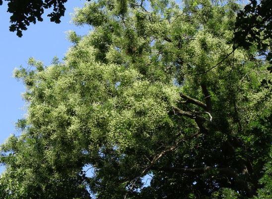 дерево софора японская