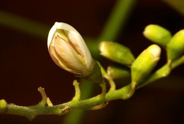 цветы софоры японской