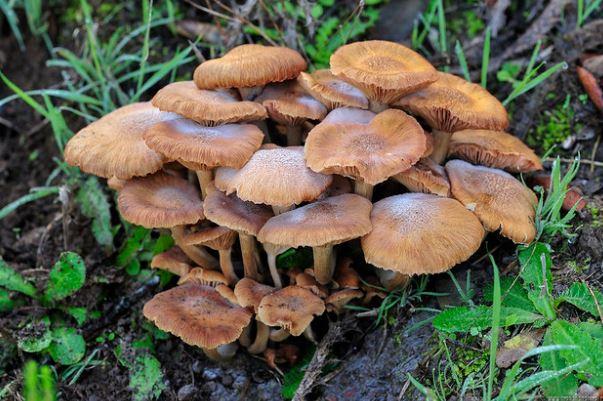 Опенок ссыхающийся – съедобный гриб