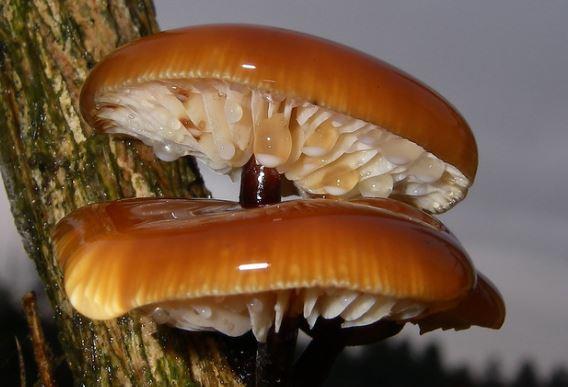 опенок зимний (фламмулина бархатистоножковая)