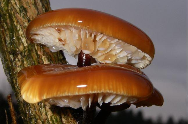 фламмулина бархатистоножковая